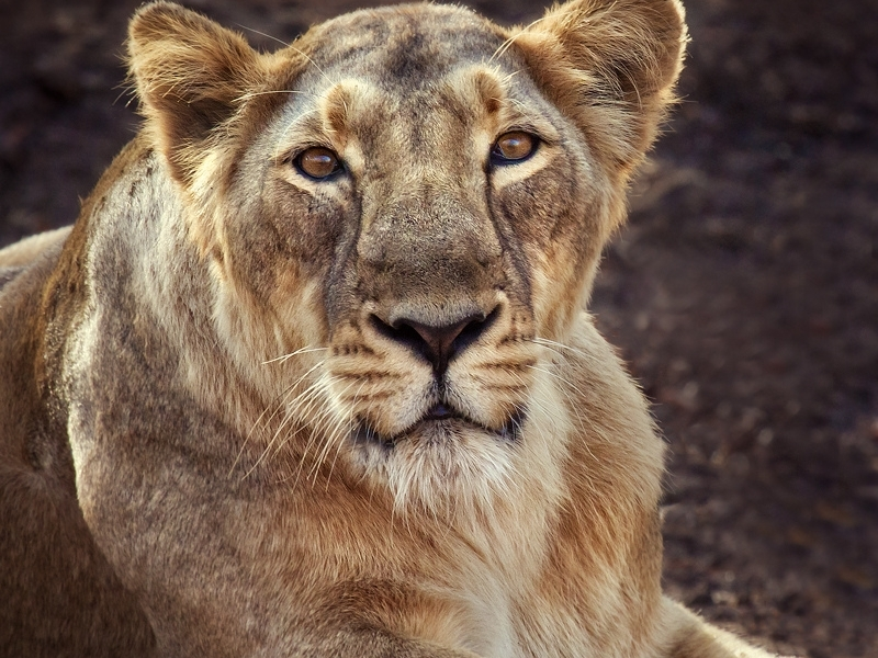 lion in india